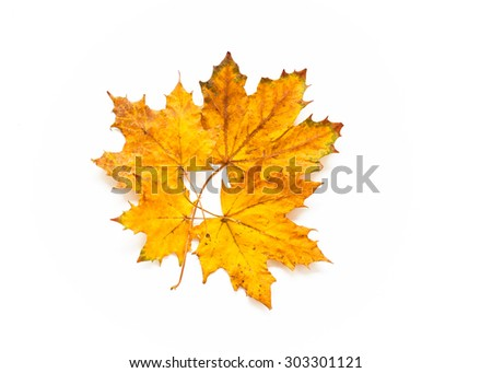 Several of fallen maple leaves on a white background - stock photo
