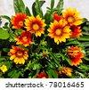 several orange Gazania blooming flowers natural background - stock photo