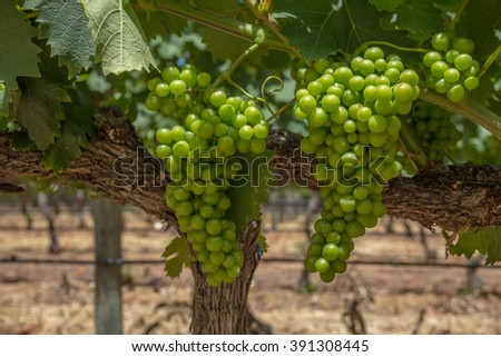 Several plump bunches of green grapes being grown for white wine.  Constantia Wine Region, near to Cape Town, South Africa.  - stock photo