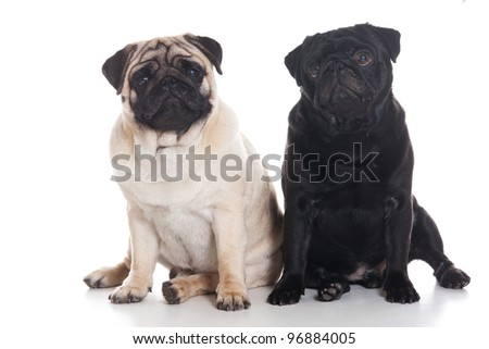 Several pug puppies on white background - stock photo