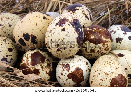 Several quail eggs on the background of hay