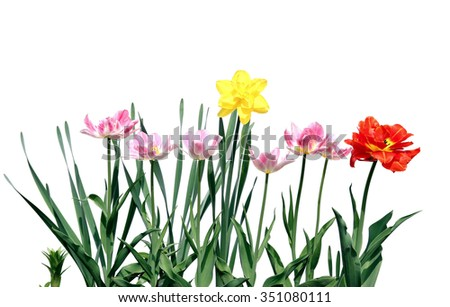 Several red and pink flowering tulips and yellow narcissus isolated on white background - stock photo