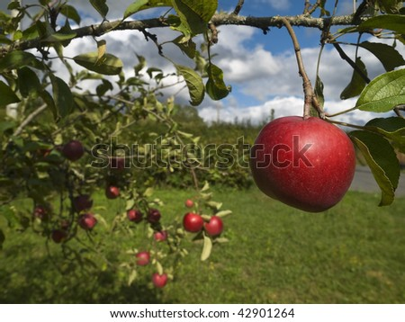 Several red apples hanging on the tree. Focus on the foreground.