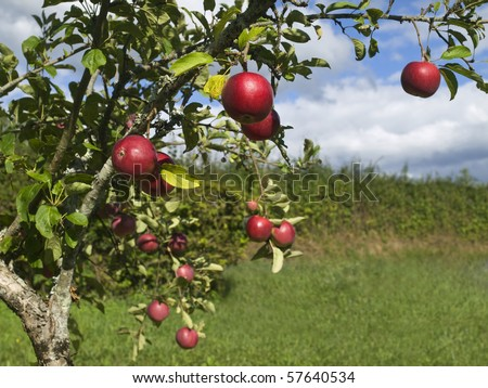Several red apples hanging on the tree. Focus on the foreground. - stock photo