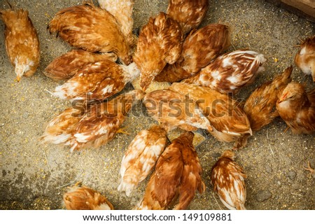 Several red farm chickens eating - stock photo
