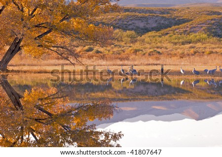 Several sandhill crane along the shoreline with the shade of a mature golden cottonwood tree at Bosque del Apache in New Mexico. - stock photo