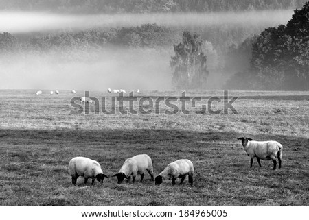 Several sheep on the morning misty herd - stock photo