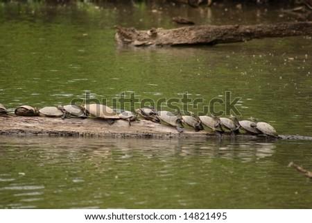 Several side-necked turtles (Podocnemis sp.) on log in Lake Sandoval, Peru - stock photo