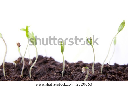 Several small seedlings on white background macro - stock photo