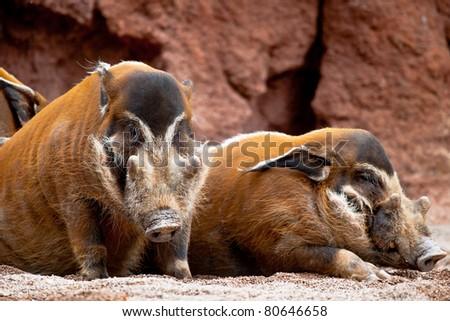 Several specimen of red river hog, Potamochoerus porcus pictus - stock photo