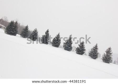 Several spruce trees in fog weather in Toronto park
