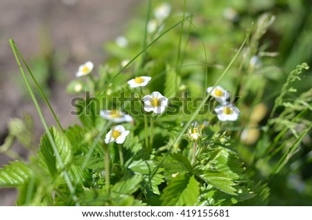 Several strawberry flowers on the stem. Strawberry flowers. Green bush blooming in the spring strawberries. Blooming strawberry. Selective focus. Natural green blurred spring background. - stock photo