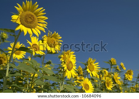 several sunflowers with blue sky background - stock photo