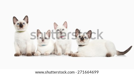 Several thai kittens on white background