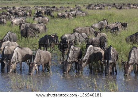 Several wildebeest antelope drinking during migration - stock photo