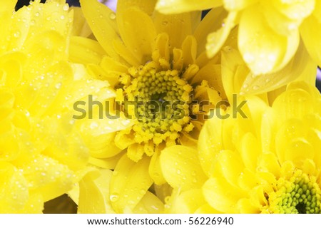 Several yellow chrysanthemums on the white background. - stock photo
