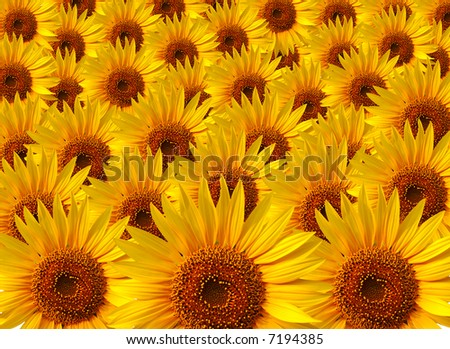 Several yellow sunflower composition - stock photo
