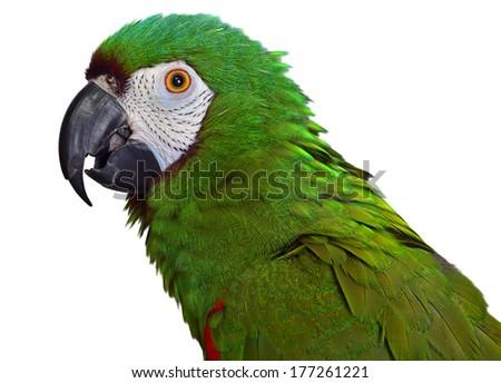 Severe Macaw - stock photo