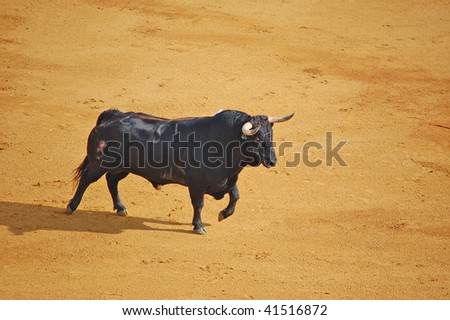 SEVILLE - APRIL 30:A Spanish bull walks into the ring at the Plaza de Toros de Sevilla April 30, 2009 in Seville, Spain. - stock photo
