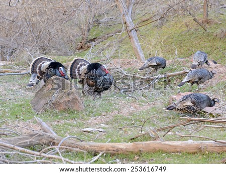 Sexual dimorphism illustrated in male wild turkeys in courtship display, following female hens - stock photo