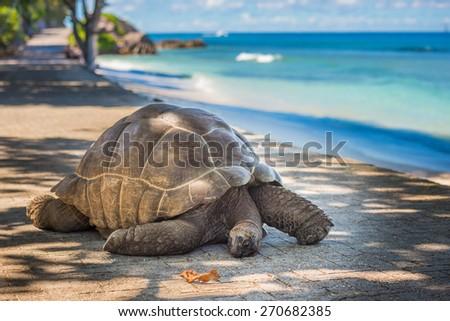 Seychelles giant tortoise  - stock photo