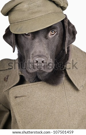 Sgt Labrador in Army Uniform - stock photo