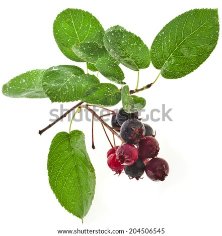 Shadberry close up isolated on white background - stock photo