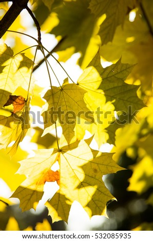 shade of a maple leaf. autumn. yellow