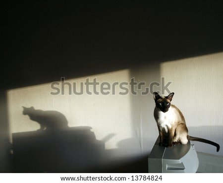 shade of the Siamese cat in dark room - stock photo