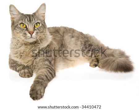 Shaded silver laperm cat on white background - stock photo