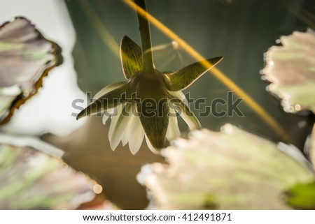 Shadow lotus bloom showing on the surface. A lotus leaf blur around. - stock photo