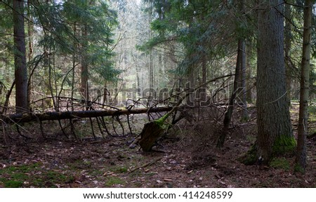 Shady coniferous stand of Bialowieza Forest in spring with broken spruce crossing narrow path,Bialowieza Forest,Poland,Europe - stock photo