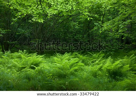 Shady deciduous stand of Bialowieza Forest in springtime with fresh green grassy bottom and ferns - stock photo
