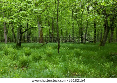 Shady deciduous stand of Bialowieza Forest with old trees in springtime and fresh green grassy bottom and ferns