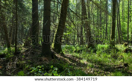Shady springtime alder bog stand with lush foliage and old alder trees around,Bialowieza Forest,Poland,Europe - stock photo