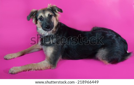 Shaggy brown dog is lying on pink background