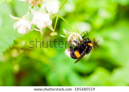 Shaggy bumblebee sitting on a blue flower close-up - stock photo