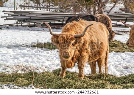 Shaggy haired, long horned Highland cattle.  Notice the grass-stained mouth and nose of the one looking at you. - stock photo