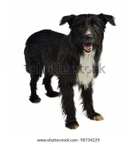Shaggy mixed breed dog isolated on white - stock photo