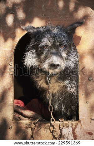 Shaggy old dog chained in a muddy cage looking sad - stock photo