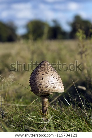 Shaggy Parasol Mushroom in a field of grass (focus on tip of mushroom with shallow DoF) - stock photo
