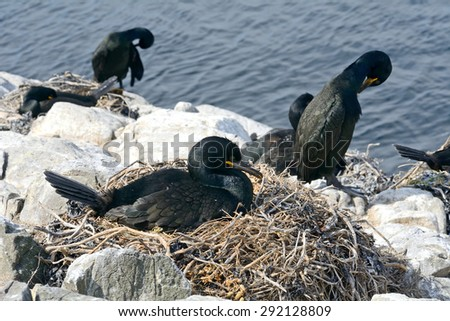 Shags, Farne Islands Nature Reserve, England