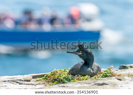 Shags {Phalacrocorax aristotelis} nest on the rocky shoreline of the Farne Islands in Spring. A tourist boat can be seen in the background. Northumberland, May - stock photo