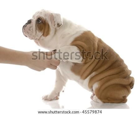 shake a paw - hand holding paw of english bulldog puppy - stock photo