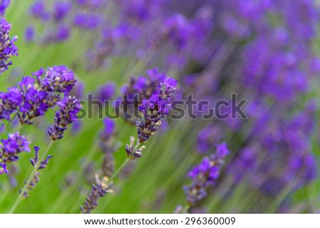 Shallow and selective focus of lavenders are growing in field at Sequim, Washington, US. Sequim is the lavender Capital of North America. Close-up view of lavender, a beautiful herbal flower.