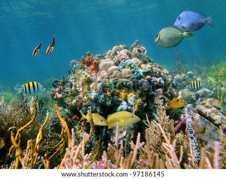 Shallow coral reef underwater sea and its inhabitants, tropical fish, squid and colorful sponges, Caribbean sea