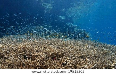 shallow coral reef with blue damselfish above the coral
