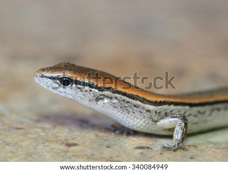 Shallow Depth of Field Closeup Portrait of a Ground Skink - stock photo