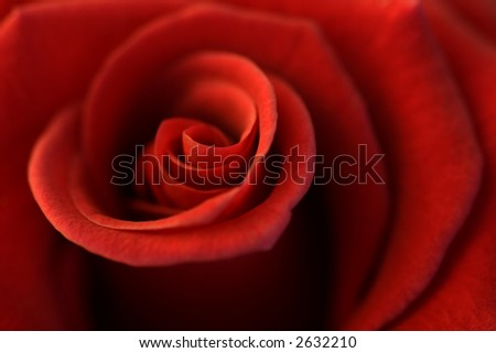 Shallow depth-of-field image of the centre of a rose.