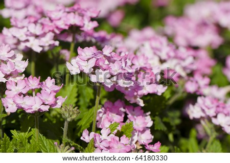 Shallow DOF pale pink Verbena - stock photo